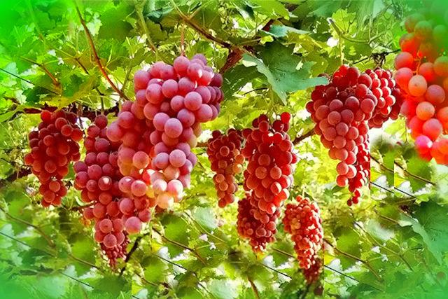 ¿La Uva es Buena Para la Gastritis?2