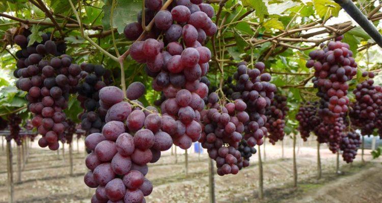 ¿La Uva es Buena Para la Gastritis?4